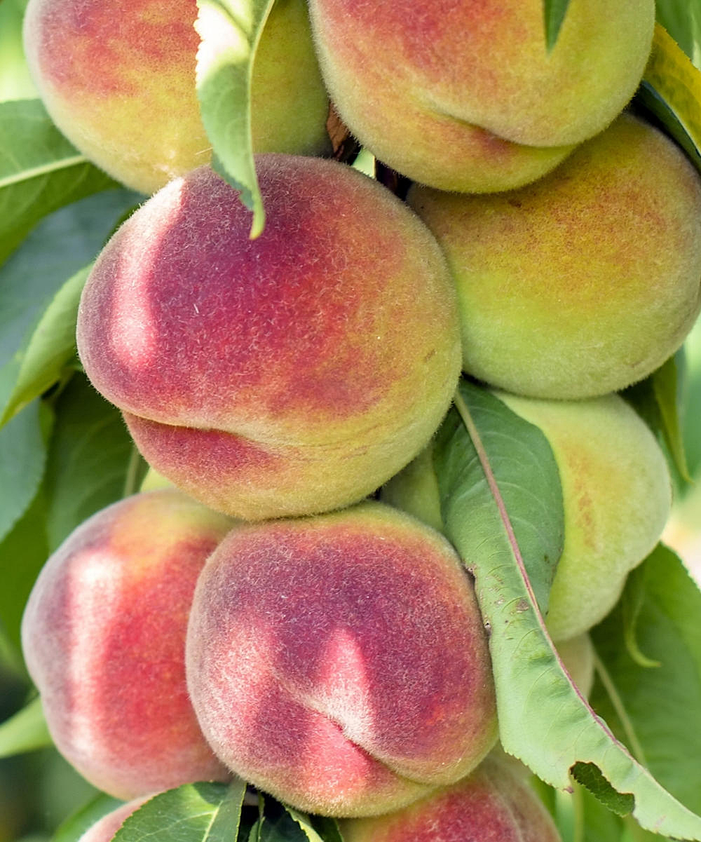 Cottage Farms Direct Live 'Belle of Georgia' Prunus Peach Tree