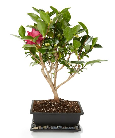 Specialty Plants Inc Live Camellia Bonsai Best Price And Reviews Zulily