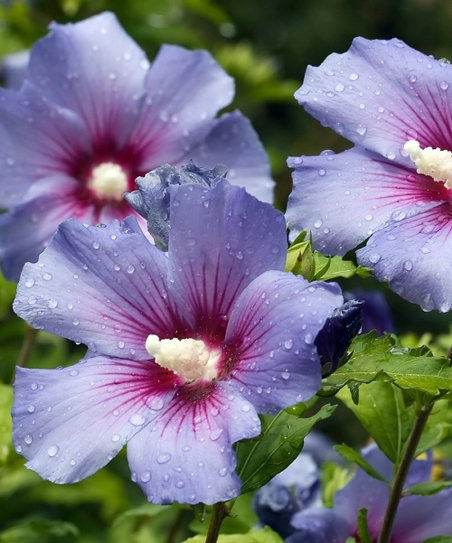 Cottage Farms Direct Live 'Blue Bird' Hibiscus Plant - Set of Two