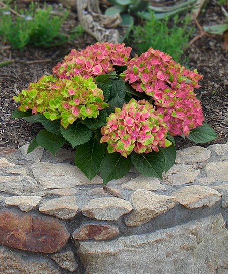 Cottage Farms Direct Live 'Everlasting Amethyst' Hydrangea Plant - Set of  Two