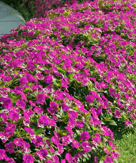 Cottage Farms Direct Live 'Neon Pink' Sunpatiens Plant - Set of Three