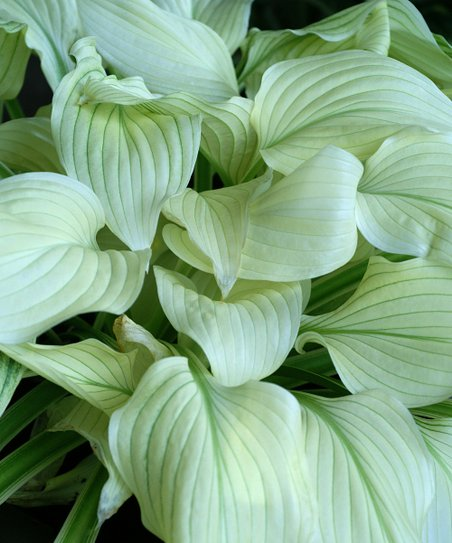 Bloomsz White Feather Hosta Bare Root Plant Set Of Three Zulily