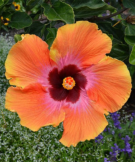 Cottage Farms Direct Live Fiesta Hibiscus Tree Zulily