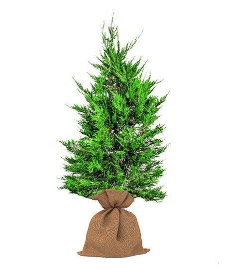 Live Leyland Cypress Miniature Christmas Tree
