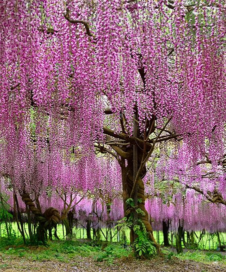 Cottage Farms Direct Live Pink Tree Wisteria Zulily