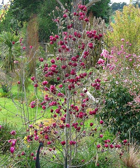 Cottage Farms Direct Live Genie Magnolia Tree Zulily