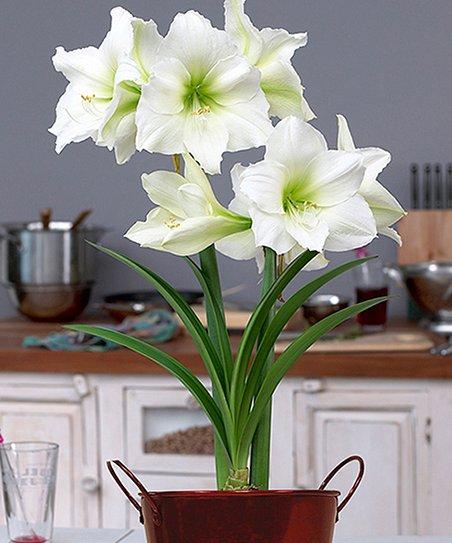 Dormant Amaryllis Bulb & Artisan Planter Gift Set