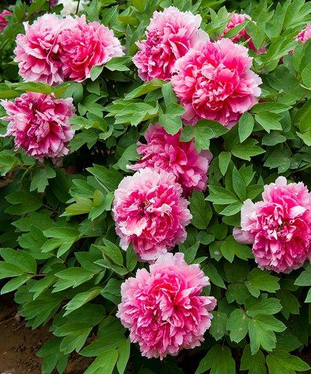 Eco Pink Peony Tree Yachiyotsubaki Bulb