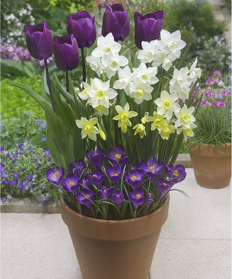 Bloomsz Early Spring Bloomers Bulb Set Zulily