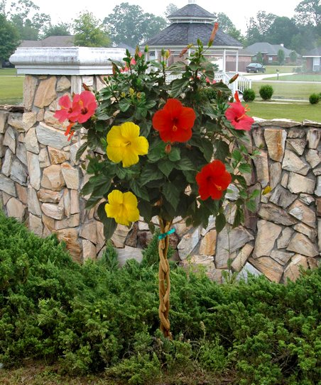 Cottage Farms Direct Tri-Color Braided Tropical Hibiscus Tree
