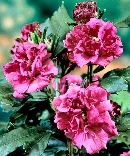 Cottage Farms Direct Double Red Hardy Hibiscus Tree Zulily