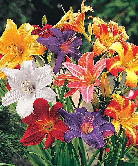 Brecks Reblooming Dwarf Daylilies Mixed Bare Root Plant Set Of