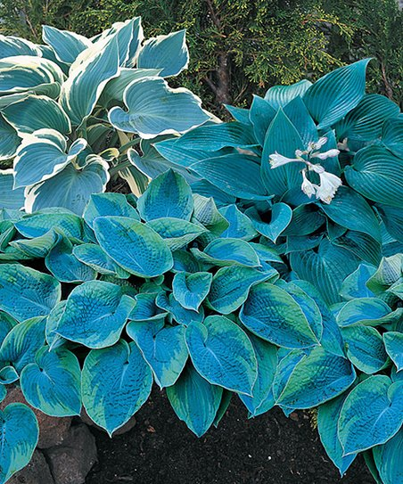 Spring Hill Nursery Live Cool Blue Mix Hosta Set Of Three Zulily