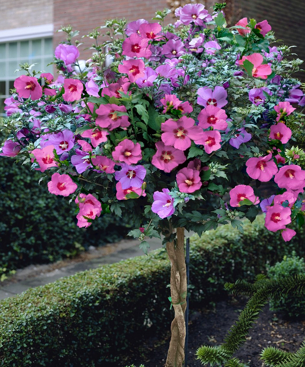Seedling Sprout Rose Of Sharon Hibiscus Tree Zulily